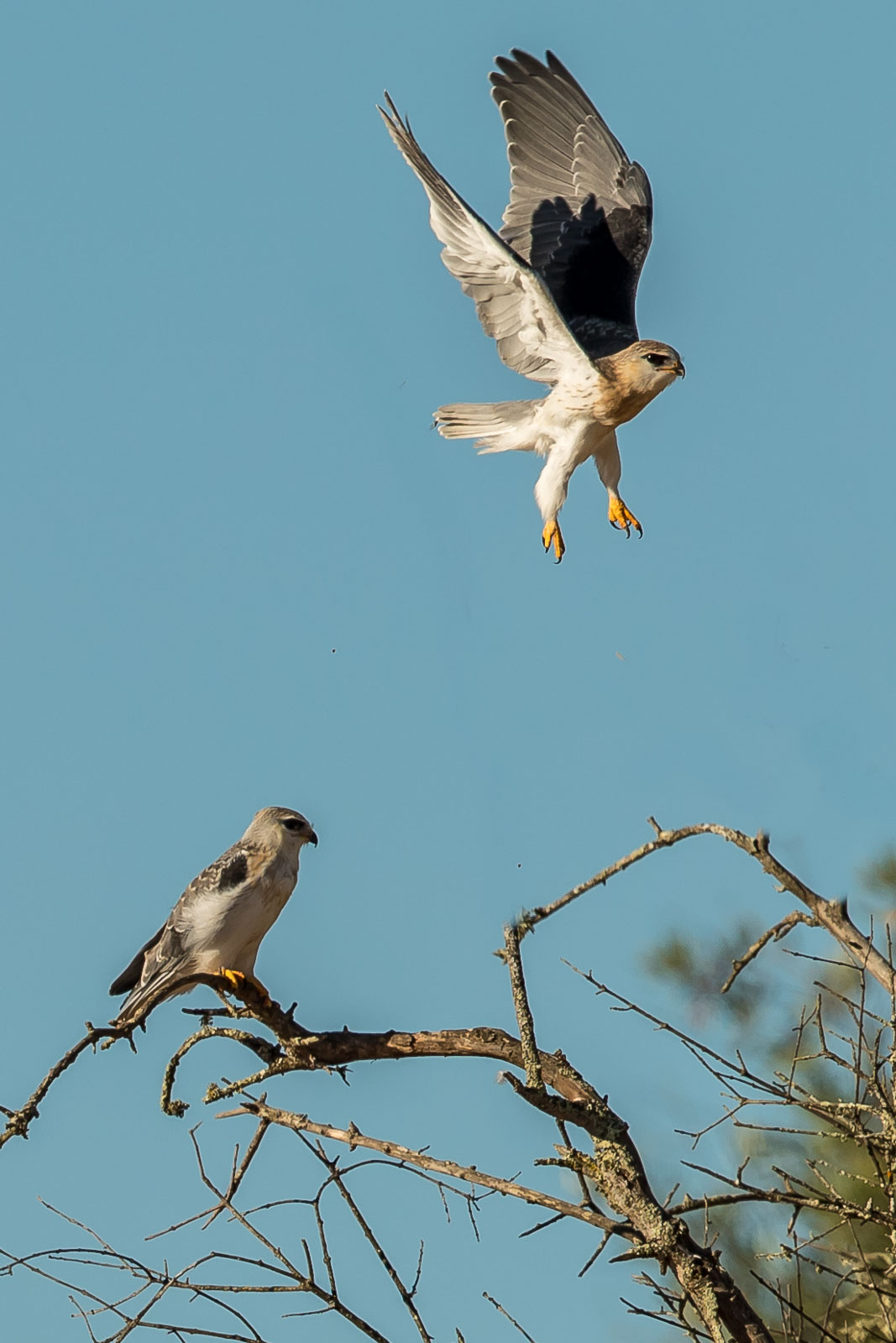 Black-winged Kite fledgelings-9755.jpg
