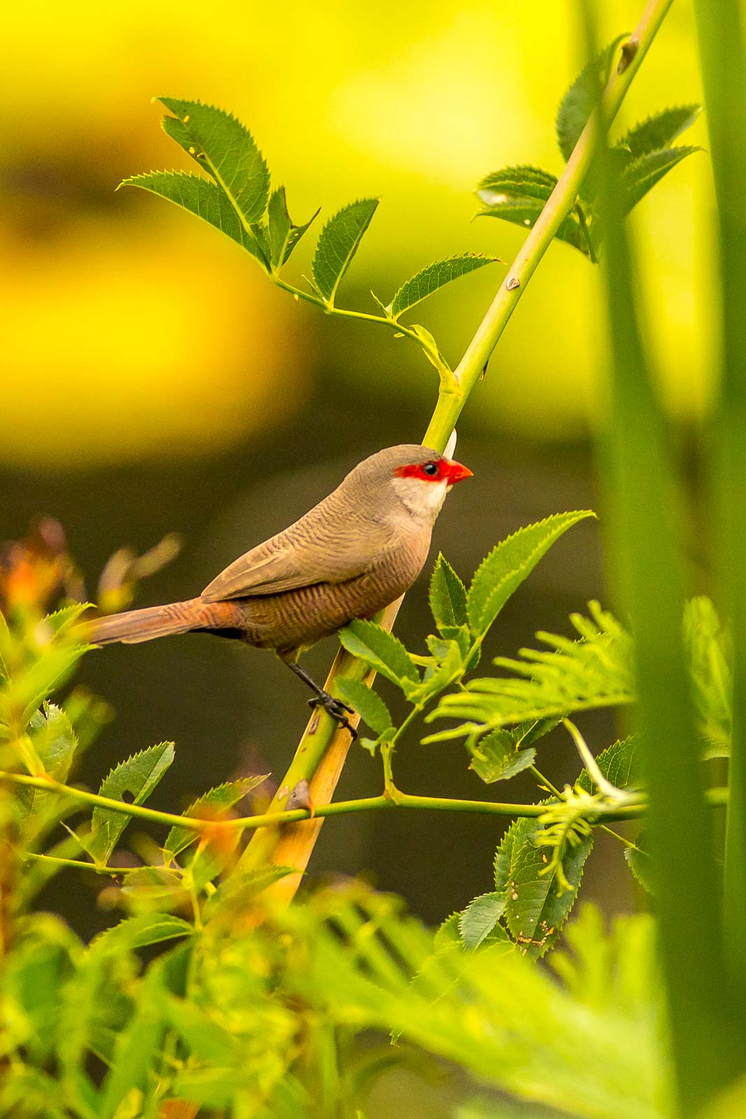 Common Waxbill-7754.jpg