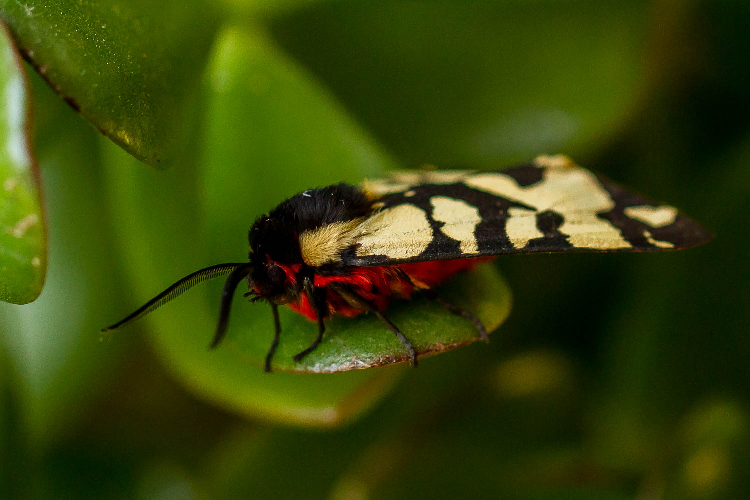 Cream-spot Tiger Moth-6317.jpg