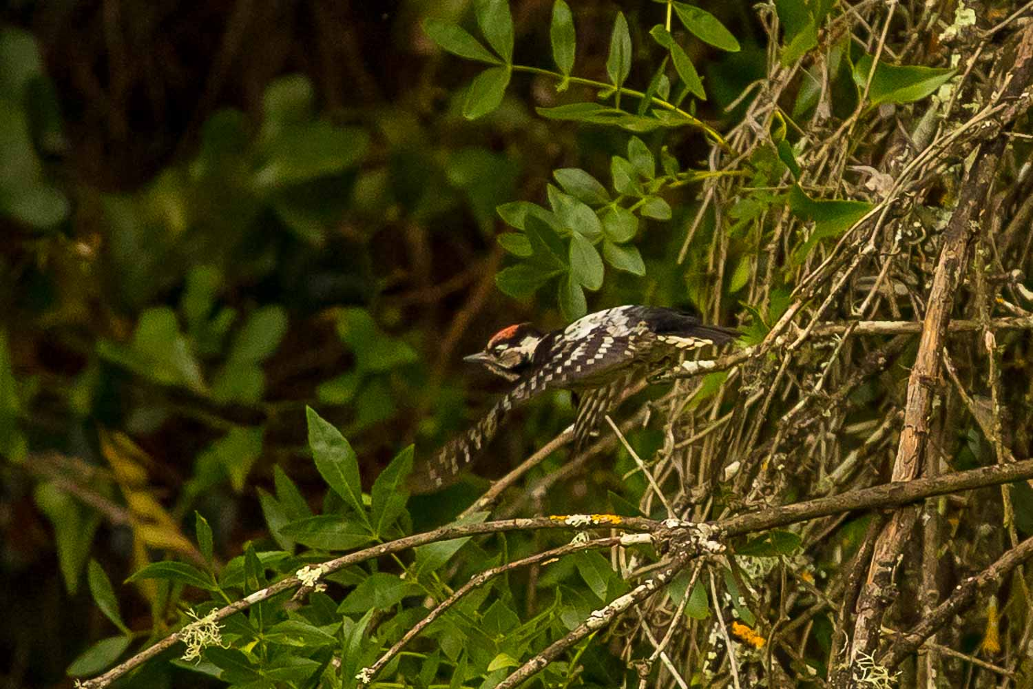 Lesser Spotted Woodpecker-6698.jpg