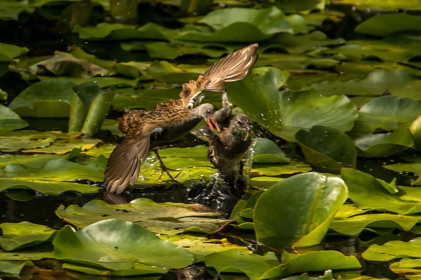 Water Rail attacking Moorhen chick-7101.jpg